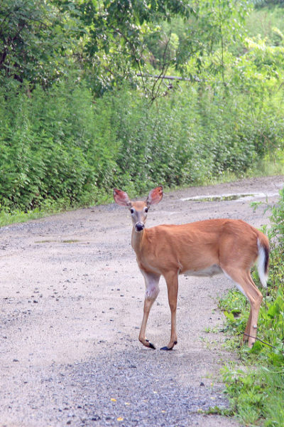 Rose_Hills_Deer_2_Photoshopped_gallery